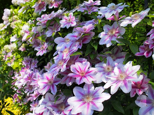 Clematis,クレマチス