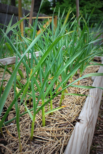 20130504. Roughly 97 garlic cloves.