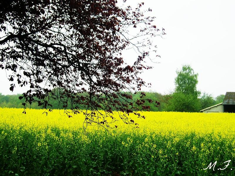 champ de colza