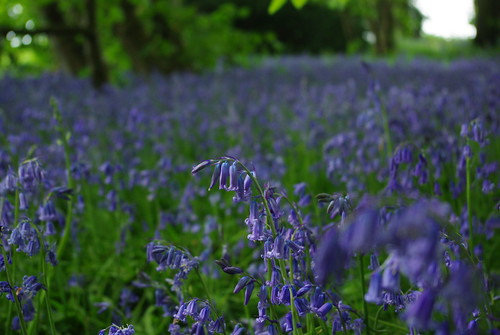 20130512-08_Cawston Bluebell Woods by gary.hadden