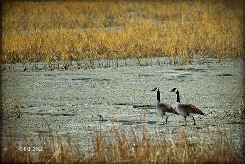 Geese Love
