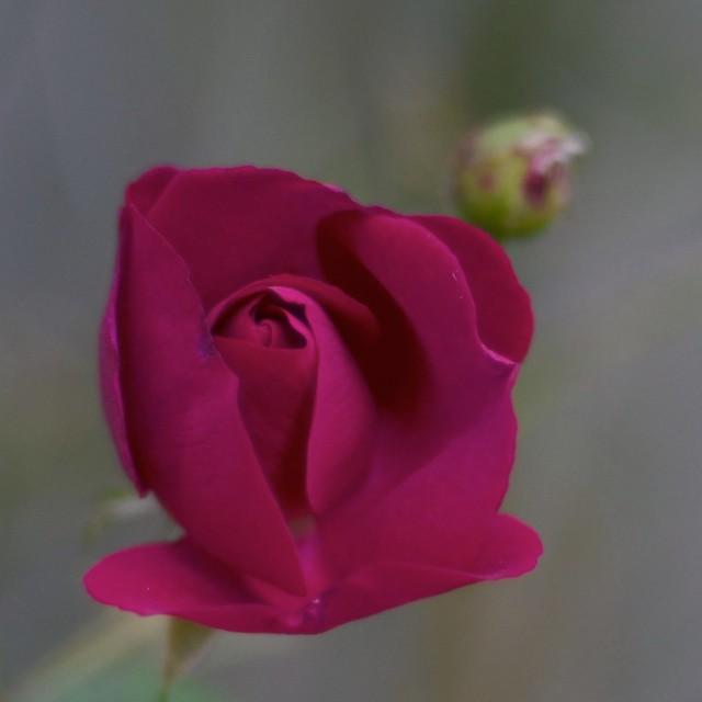 Red Rose #3