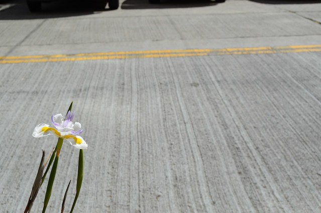 Iris + Pavement