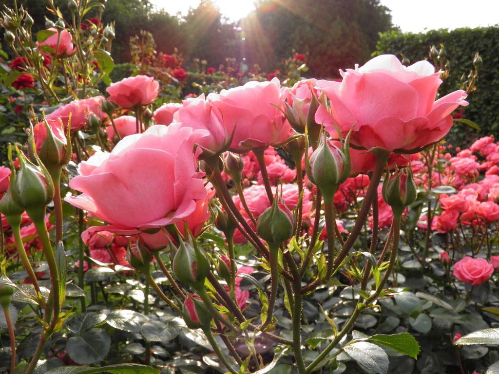 Розовые розы в Зимнем саду // Pink roses in Winter Garden