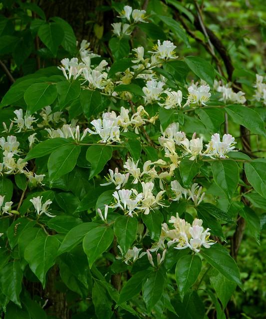 Invasive Amur honeysuckle | Explore Dendroica cerulea's ...