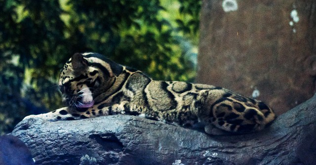 Lickin' Leopard