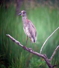 Yellow-crowned Night-Heron, Melanie Lane Pond, Hanover Township, NJ, June 22, 2012