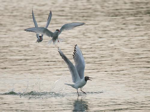 Tern-chase