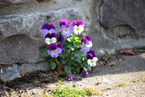 Violets in a Crack