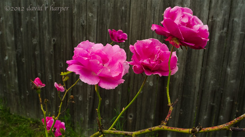 06.25.2012 :: 366/177 ...::... A rose is a Rose by Echo9er
