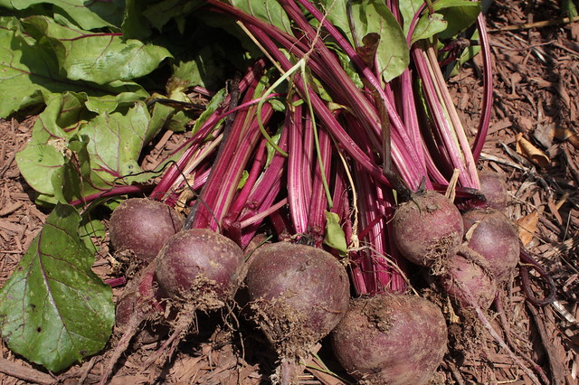 The Beet Harvest
