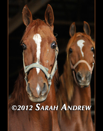 The Saddlebreds