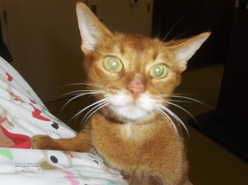 Abyssinian spayed older cat 001