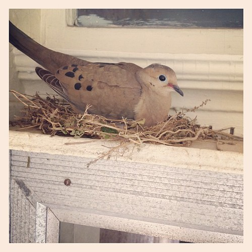 Why yes, that IS a mourning dove living over our front door.