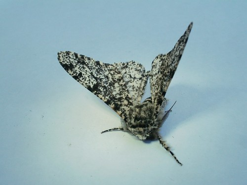 Peppered Moth, by SamuelMillar153 on Flickr