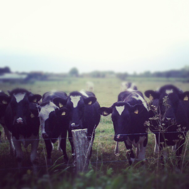 There are cows, too.