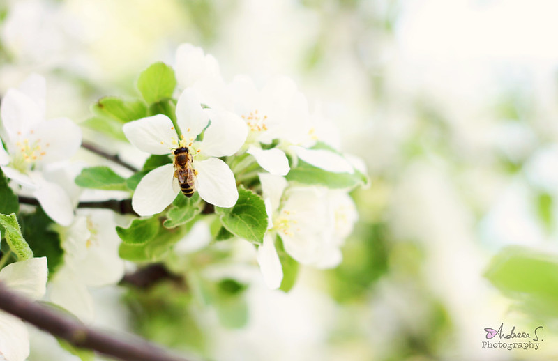 A spring wihout bees in white trees, is just another winter