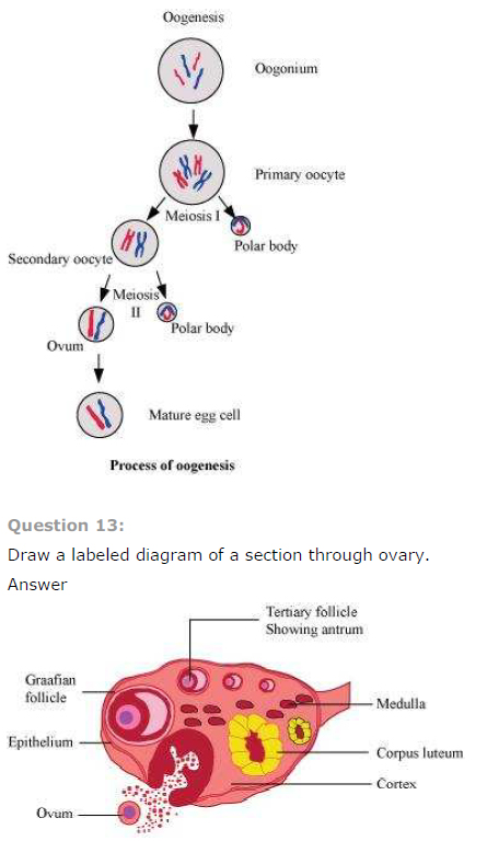 NCERT Solutions Class 12 Biology Chapter 3: Human Reproduction oogenesis