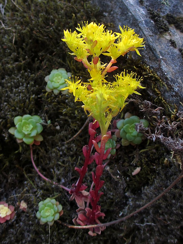 Tiny flowering succulent in a bed of moss. If you look closely you can see a couple of spiders!