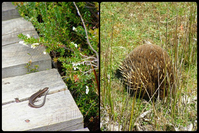 Wildlife at Cradle Mountain