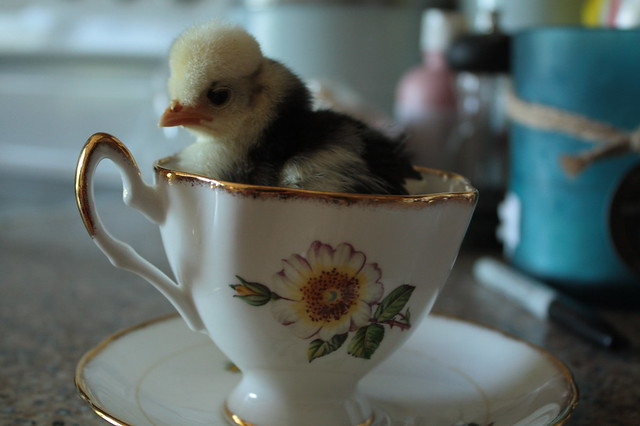 Teacup Chick