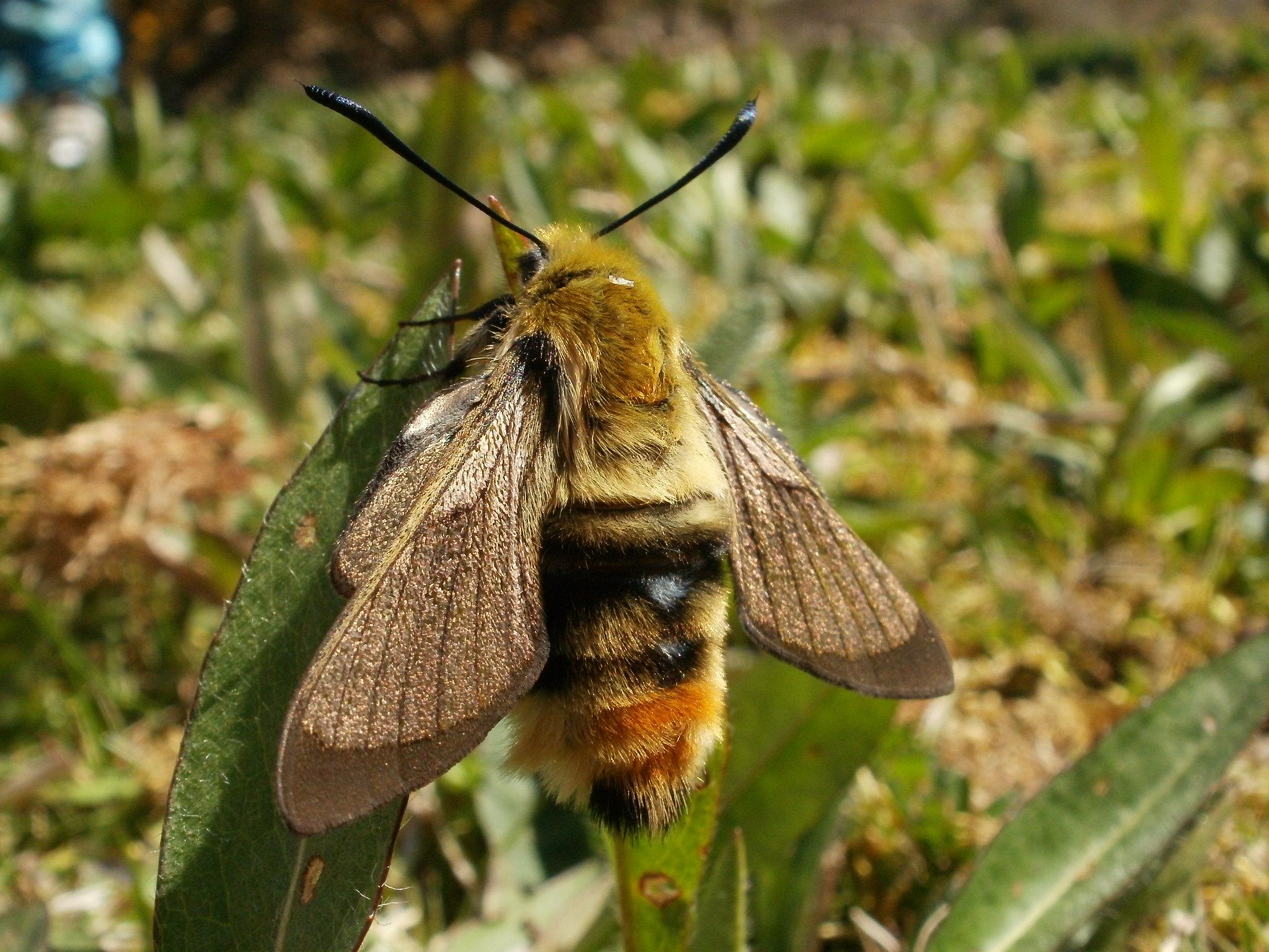 Narrow-bordered Bee Hawkmoth