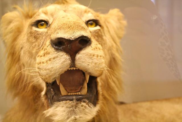 Odd looking lion