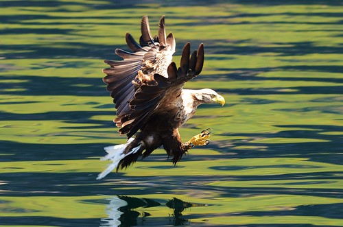 White Tailed Sea Eagle by charlie.syme