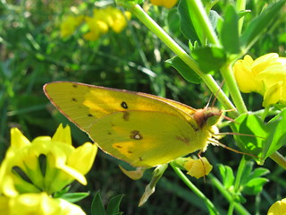 Clouded sulphur (Colias philodice), near Goodman Center