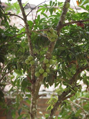 193/366 - Mahkota Dewa (God's Crown) plant by Flubie