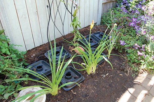 Three New Daylilies