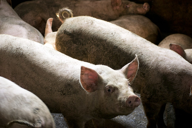 Smallholder pigs in northern-Vietnam