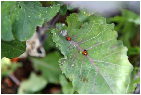 Ladybugs ignoring aphids on a tree kale