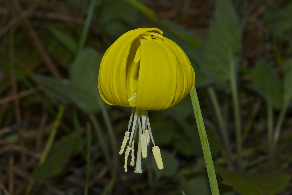 Glacier Lily, Avalanche Lily, Dogtoothed Violet