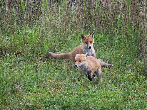 Fox cubs chasing