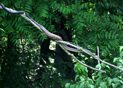 black rat snake on dead branch