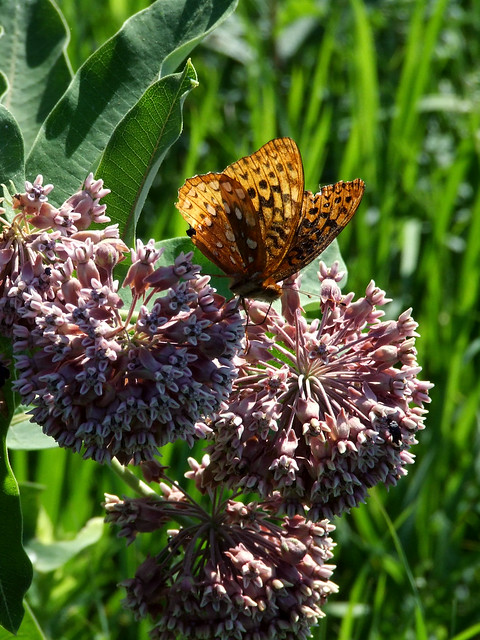 common milkweed with great-spangled fritillary 2