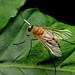 Snipe fly, Rhagio hirtus (female)