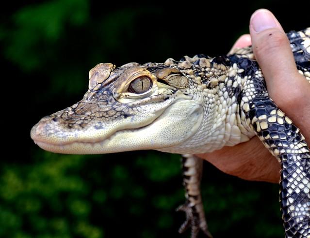 Tallahassee the Alligator