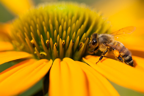 Bee and Coneflower 3