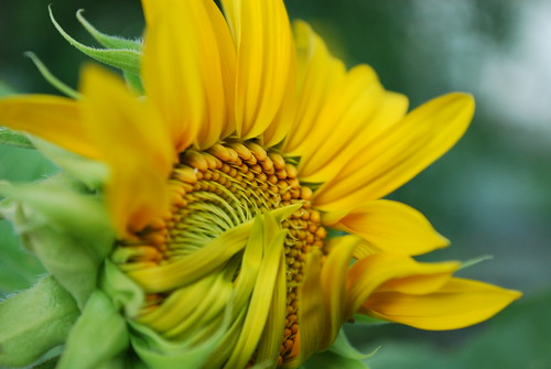 sunflower unfurling