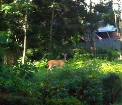 Deer on Lofton