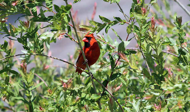 Male Cardinal in the Willow