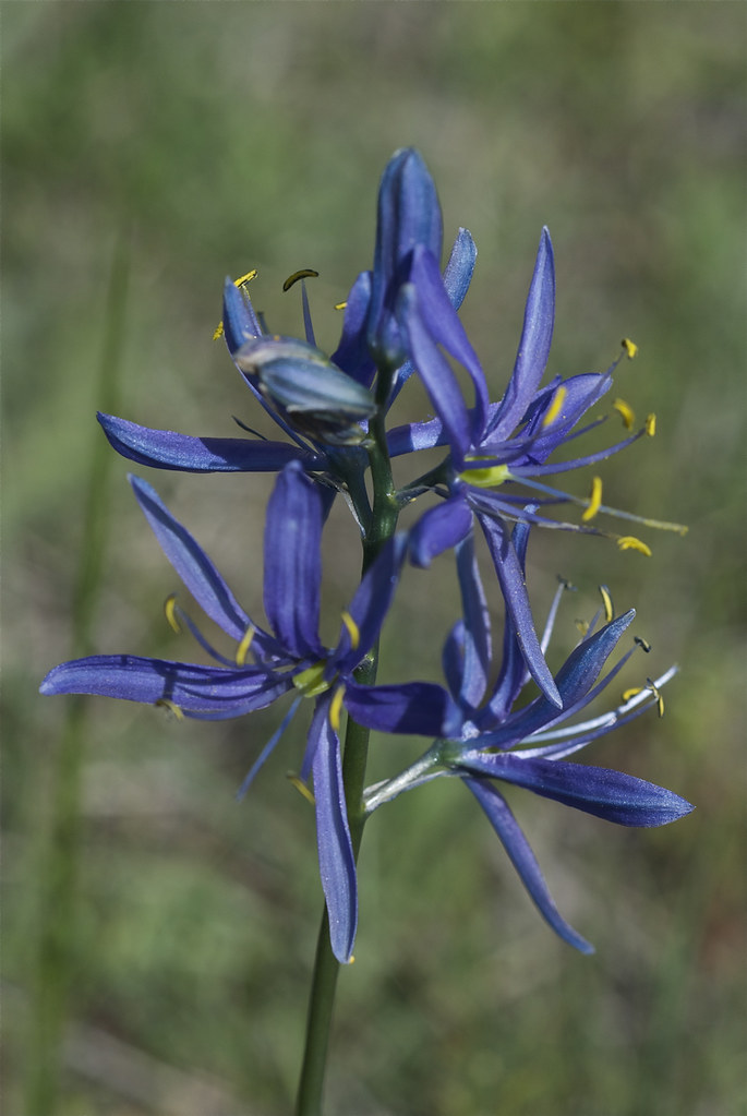 Common Camas, Blue Camas