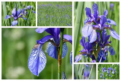 Iris im Juni12 2012-06-03