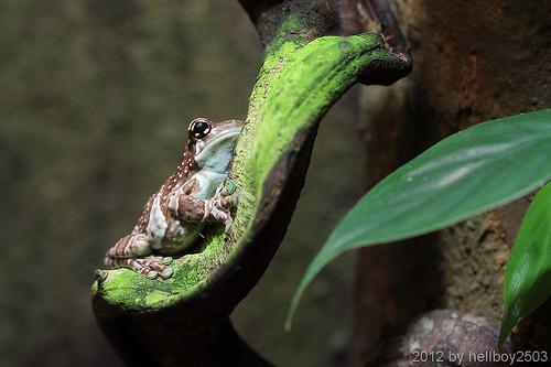 Baumhöhlen-Krötenlaubfrosch (Trachycephalus resinifictrix) by hellboy2503