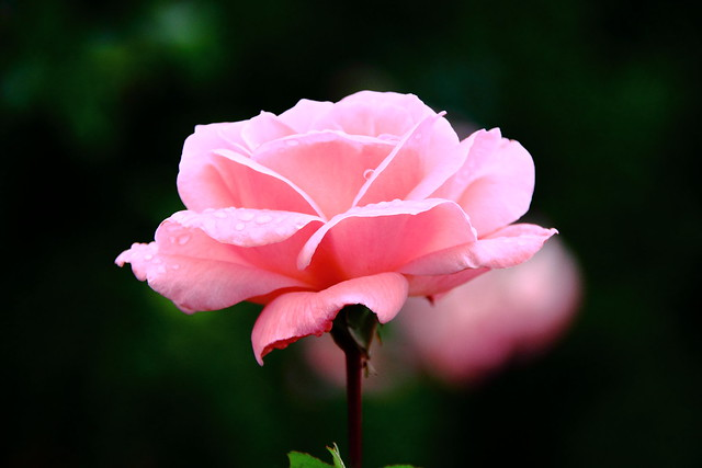 Rosa #Photography #Flickr #Foto  31