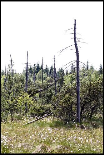 abgestorbene Bäume im Georgenfelder Hochmoor