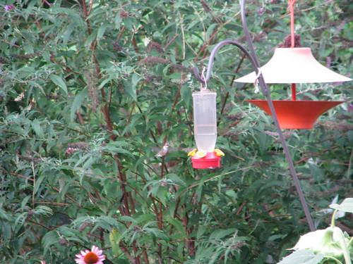 Hummingbirds in the Garden!