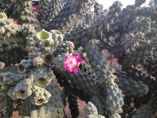 Pink cactus flower (Cactaceae)